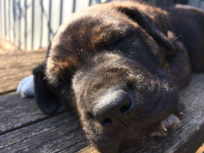 Bestfriend p Pitbull Dogs Domestic Animals Love ♥ Sleeping