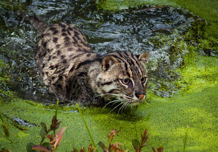 World Heritage Foundation big cats Animal Themes Animals Big Cat Big Chunks Of Meat Cat Cheetah Lion Nature Nature_collection One Animal Panther Road Safari Swimming WHF Wildlife Wildlife Heritage Foundation
