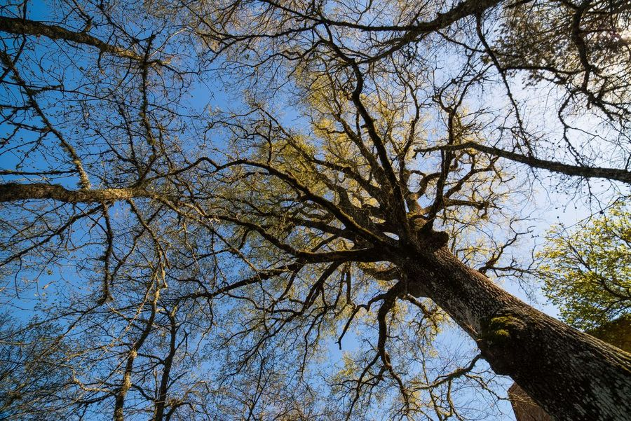 Bare Tree Beauty In Nature Branch Day Foliage Growth Low Angle View Nature No People Outdoors Ramification Sky Tree Trees Treetops
