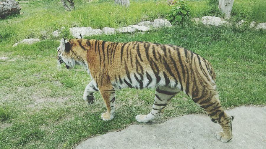 Tiger On Grassy Field