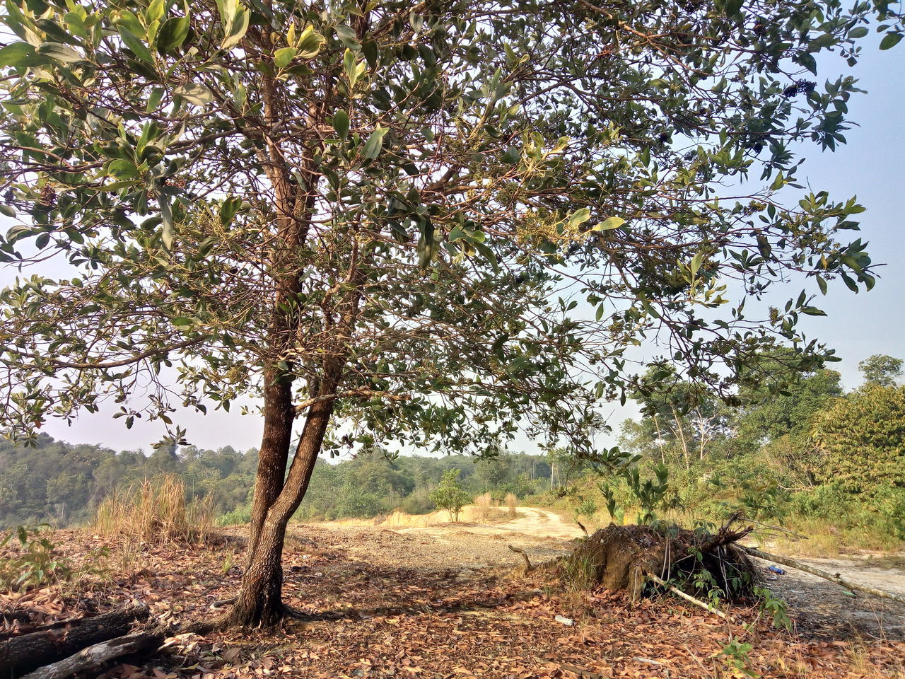 tree, plant, beauty in nature, landscape, nature, growth, tranquility, land, day, tranquil scene, sky, no people, scenics - nature, environment, field, outdoors, branch, non-urban scene, tree trunk, trunk
