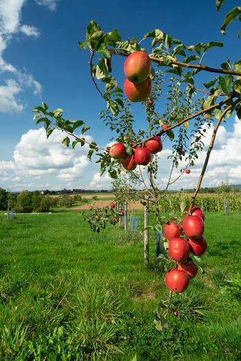 Red berries on tree in field against sky