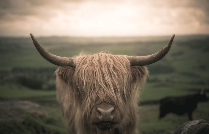 Close-up of highland cattle on field during sunset
