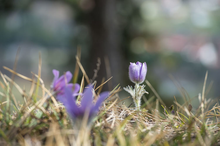 arctic violet in the mountains - Pulsatilla vulgaris Arctic Violet Beauty In Nature Blooming Close-up Day Field Flower Flower Head Focus On Background Fragility Freshness Growth Nature No People Outdoors Plant Pulsatilla Vulgaris Purple Selective Focus Tranquility