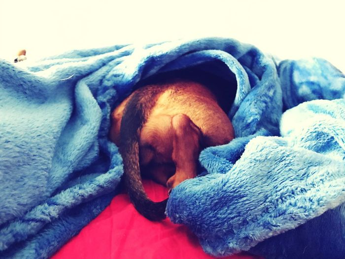 Shelter Pets Dog Sleeping Domestic Animals Mammal Animal Themes Relaxation Indoors  One Animal Comfortable No People Under Cover Blanket Cosy