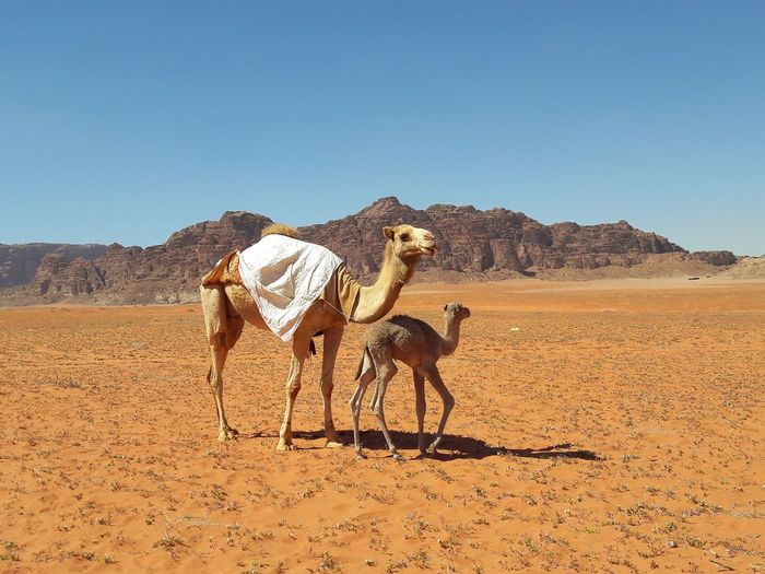Camels on the desert wadi rum