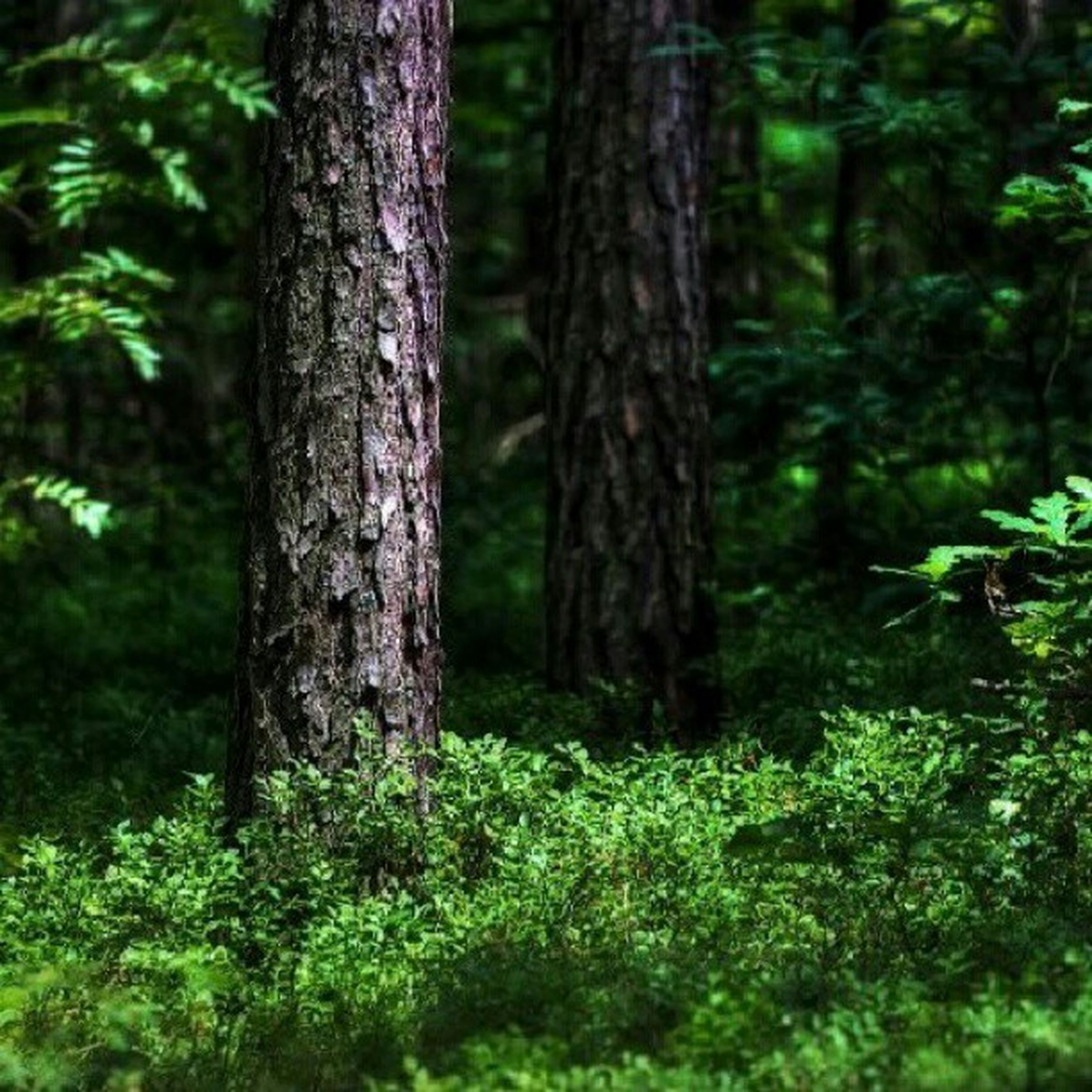 tree, forest, tree trunk, growth, woodland, tranquility, nature, green color, beauty in nature, tranquil scene, branch, woods, non-urban scene, outdoors, day, plant, no people, scenics, lush foliage, growing