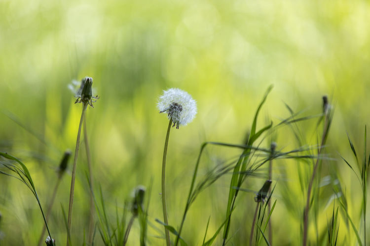 Close-up of dandelion on field
