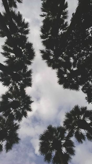 Tree Pinaceae Forest Low Angle View Sky Nature No People
