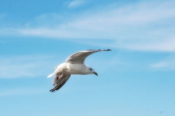 In flight Animal Themes One Animal Animal Animal Wildlife Bird Vertebrate Flying Spread Wings Mid-air Cloud - Sky Motion Outdoors Seagull Nature