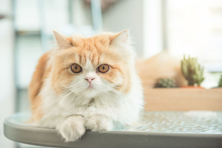 Persian cat Animal Themes Close-up Day Domestic Animals Domestic Cat Feline Focus On Foreground Indoors  Looking At Camera Mammal No People One Animal Persian Cat  Pets Portrait Whisker