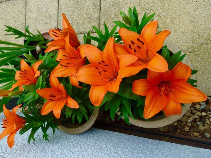 Lilies Flower Petal Flower Head Freshness Orange Color Beauty In Nature Fragility Nature Plant No People Close-up Day Outdoors Day Lily