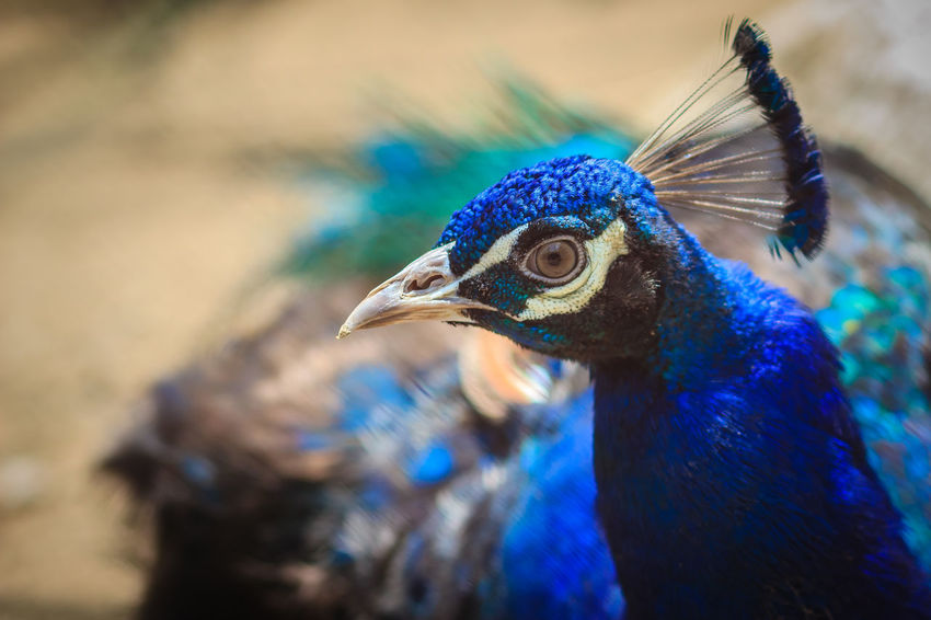 Close up to beautiful face of young peacock male with blue plumage. Peacock Blue Peacock Portrait Animal Animal Body Part Animal Eye Animal Head  Animal Themes Animal Wildlife Animal's Crest Animals In The Wild Beak Beauty In Nature Bird Blue Close-up Day Focus On Foreground Juvenile Juvenile Bird Juvenile Birds Juvenile Peacock Nature No People One Animal Outdoors Peacock Peacock Colors Peacock Dance Peacock Feather Peacock Feathers Peacock Tail Peacockfeather Peacockfeathers Peacockphotos Peacockpride Peafowl Peafowl Chicks Peafowl Head Peafowl Tail Profile View Vertebrate Young Peacock Young Peacock Male