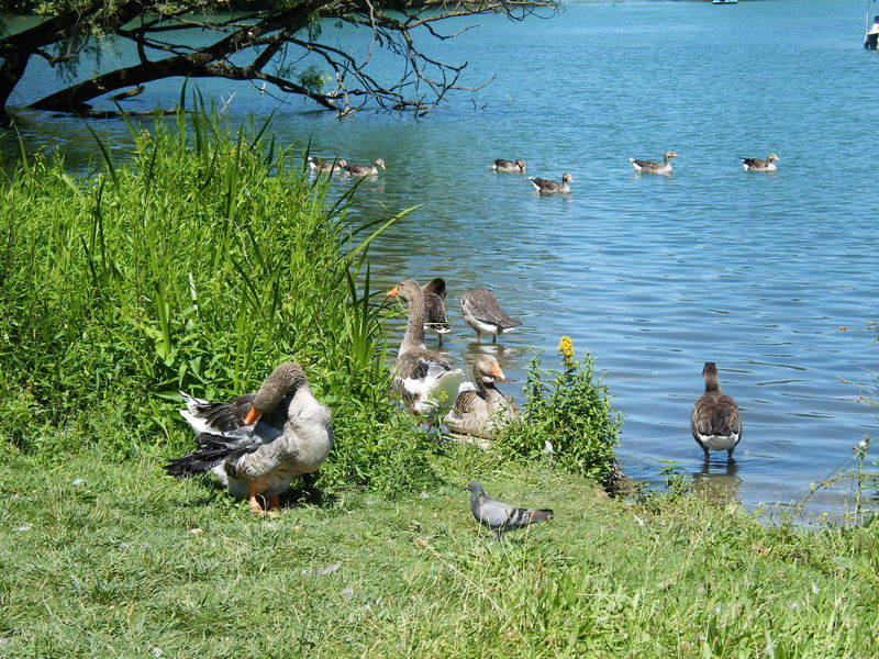 Animal Themes Bird Day Duck Group Group Dynamics Lake Leisure Nature No People Outdoors Sociology Water Water Bird