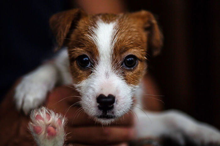 Dog Jackrussell Kinoko 3MonthsOld Commémoration Cafe Mt.cafe Bokeh Canon5Dmk3 Dog Portrait