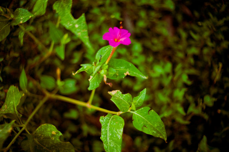 pink flower of savannah Africa African Safari African Safari Wildlife Park African Savannah Beauty In Nature Blooming Day Flower Flower Head Fragility Freshness Green Color Growth Leaf Nature Outdoors Pink Flower Plant Ruaha RuahaNationalPark Tanzania Tanzanianationalparks