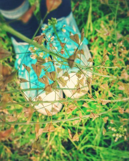 Capsella Bursa-pastoris Heart Shaped  Leaves White Flowers Turquoise Shoes Shepherd's Purse Natures Diversities