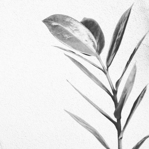 🌿💚 Plants Nature Naturelovers Nature_shooters Naturegram Love_natura LoveNature Ig_naturelovers Bignature Naturepics Natural Highkey Ig_contrast_bnw Shoot Shooter Instaplants Instanature Bestnaturepic Natureisthepainter Nature_shooter Lights Plantgram Morning Natureza StillLife ig_contrast contrast highlight shadows minimalpic