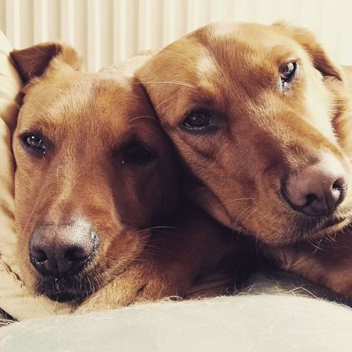 Bonzo and Georgie @bonzosworld Instagram Mammal Pets Dog Animal Themes Relaxation Domestic Animals Lying Down Close-up Indoors  No People One Animal Day Lab Labrador Labrador Retriever Red Lab Pet Portraits