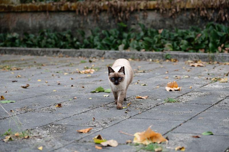 View of siamese cat