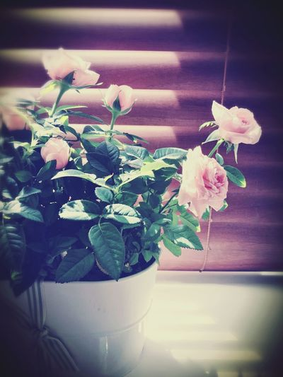 Rose - Flower Potted Plant Fragility Vase Plant Close-up Growth Freshness Flower Head Nature