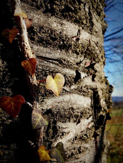 Macro Beauty Fall Leaves Nature Power In Nature Heart Leaves Eyem Nature Lovers  Tree