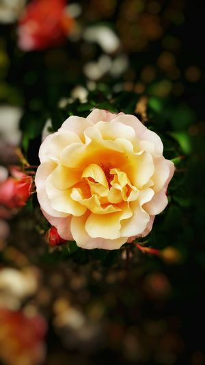 Rose🌹 Beauty Nature EyeEm Nature Lover Relaxing Life In Colors Eyemlover