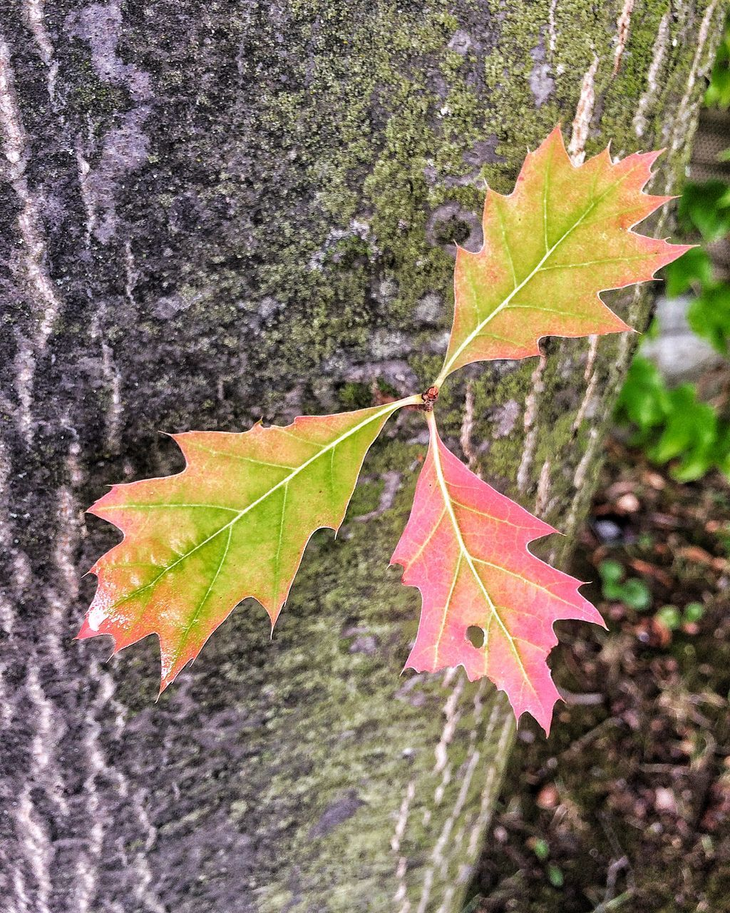 leaf, autumn, change, nature, maple leaf, day, maple, outdoors, no people, focus on foreground, close-up, selective focus, beauty in nature, growth, scenics