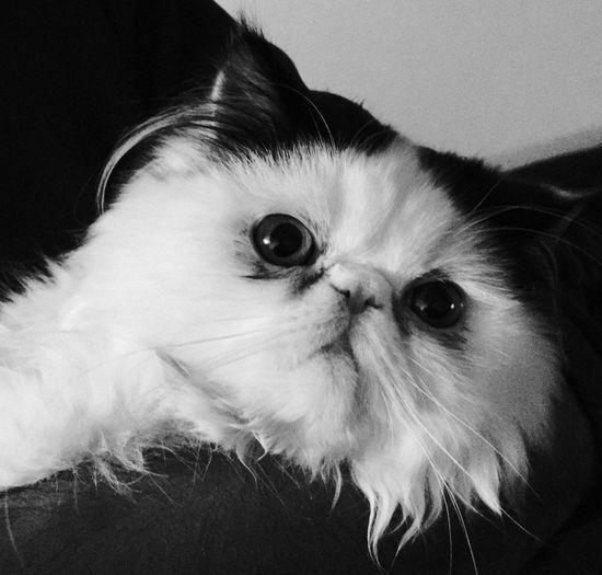 My Freinds Persian Cat Persian Cat  Cat Animal pet London uk GB