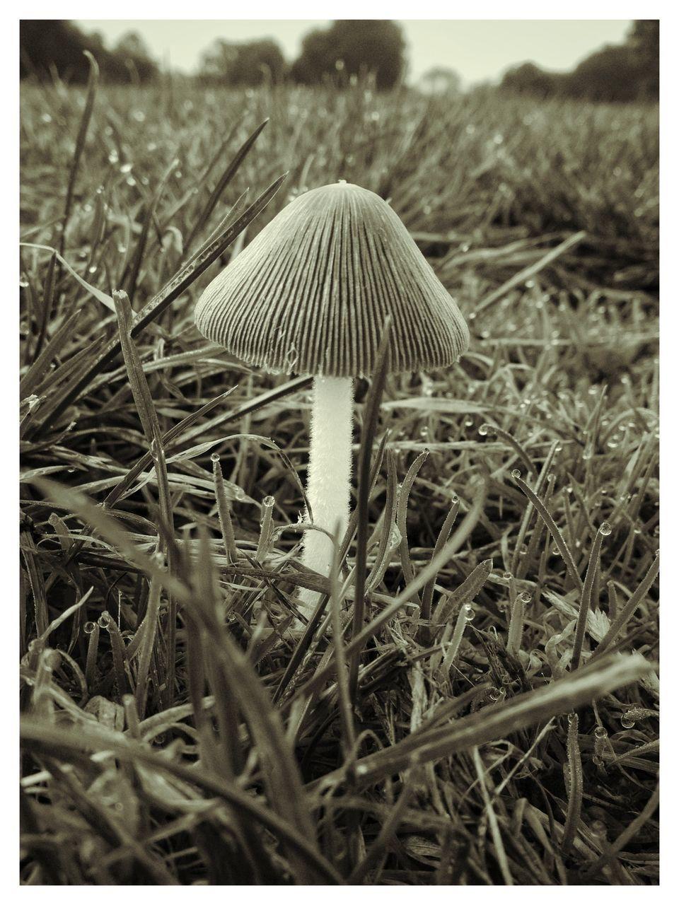 MUSHROOM GROWING ON GRASSY FIELD