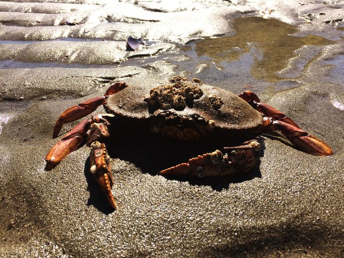 Shadow Animal Themes Full Length One Animal Sunlight Sand Zoology Day Nature Sunny Outdoors Tranquility Waters Edge No People Animal Crabs Crab Sea Life Sand & Sea Dash Point