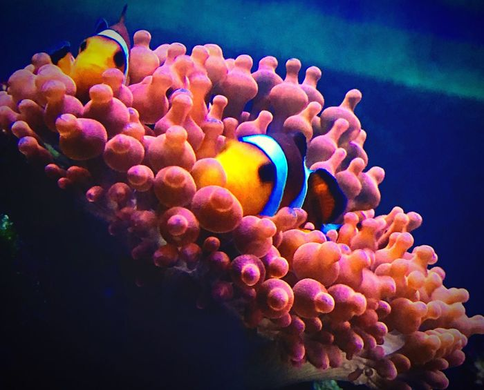 Clown Fish Anemone Saltwater Aquarium Saltwater Saltwater Fish Symbiotic Relationship Beautiful Coral Nanoreef Simple Photography Sea Life