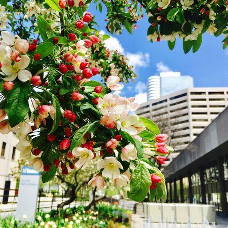 Toronto Flower Apple Tree City Hall Park