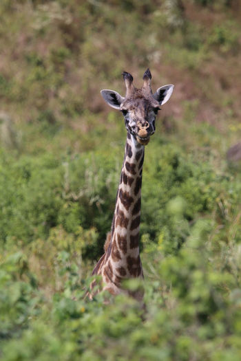 Portrait of giraffe standing on land