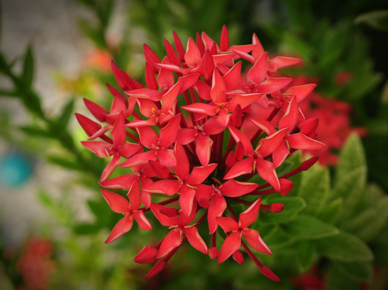 ixora, red, growth, beauty in nature, flower, petal, focus on foreground, nature, freshness, day, fragility, flower head, close-up, plant, blooming, outdoors, no people