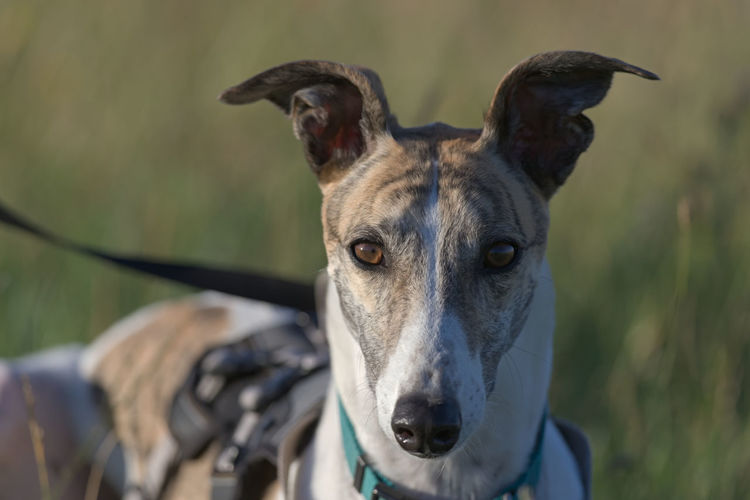 Symmetry and two tone color makes this portrait of a greyhound staring directly at the camera