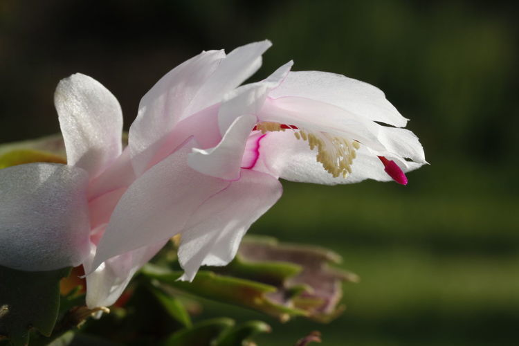 White Christmas cactus Cactus Cactus Flower Christmas Christmas Cactus Schlumbergera Flowering Plant Flower Fragility Petal Beauty In Nature Freshness Plant Growth Close-up Inflorescence Pink Color Flower Head No People Nature Pollen EyeEm Nature Lover EyeEm Selects Macro Macro Photography Macro_collection