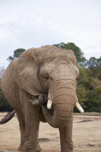 Elephant standing on a tree