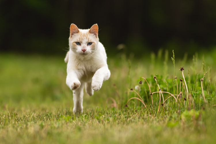 White cat running through a grassy yard Domestic Pets Animal Themes One Animal Domestic Cat Mammal Animal Domestic Animals Cat Plant Feline Grass Vertebrate Portrait Selective Focus Field Nature Land No People Looking At Camera Whisker Freedom Cute Adorable