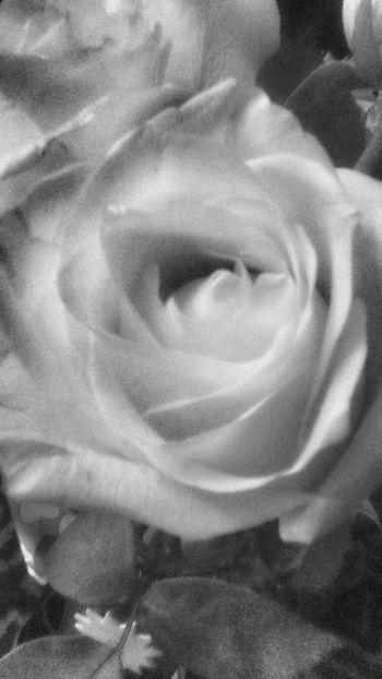 Bnw_friday_eyeemchallenge Bnw_flowers Blancoynegro Bnw_collection Bnw In Between The Flowers~entre Las Flores Flores Rosas Nem Nature NEM Black&white Close-up Flower