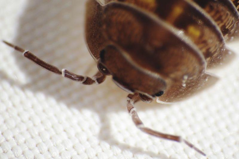 Wood louse Woodlouse One Animal Animal Themes Invertebrate Animal Wildlife Animal Insect Close-up