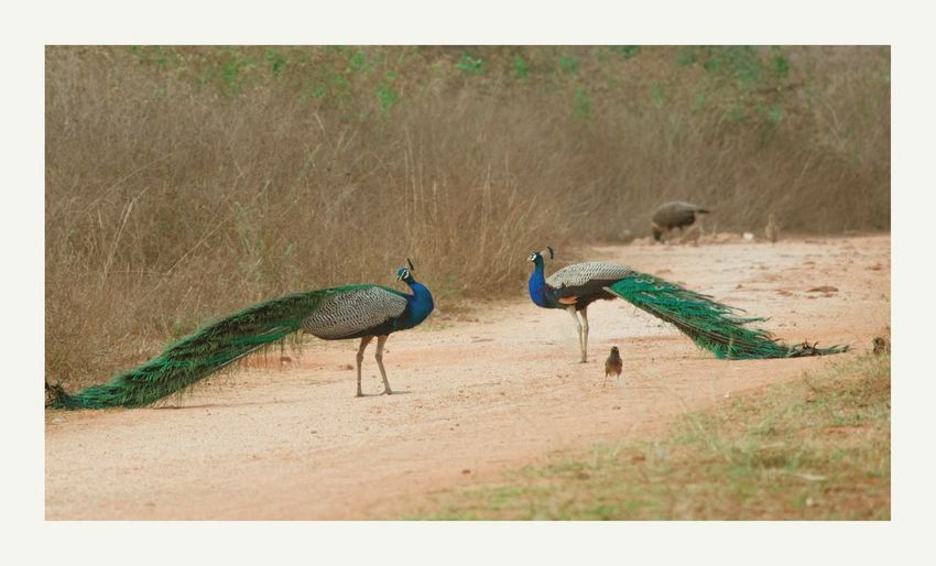 Animals Feeding Animals In The Wild Natural Habitat Peacock Feather Bird Peacock Fanned Out Feather  Blue Beauty Tail Animal Behavior
