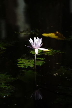 Purple water lily Flower Flowering Plant Plant Freshness Water Lake Beauty In Nature Petal Floating Close-up Flower Head Floating On Water Inflorescence Growth Water Lily No People Lotus Water Lily Fragility Vulnerability  Nature