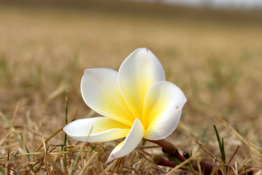 spa symbol, plumeria, white, yellow, dry grass, dry lawn, brown lawn, spa, sweet smelling, Sweet Smell Brown Brown Grass Dry Grass Pleasant Smell. Plumeria On Grass Spa Symbol Spa, Spa Symbol, White Plumeria, Yellow Plumeria, Dry Grass Summer Yellowish White Plumeria On Dry Grass