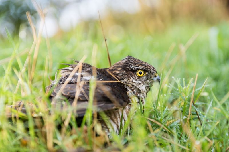 Sparrow Hawk Sherleben Greifvogel Bird Photography Bird Sparrow Hawk EyeEm Selects Animal Animal Themes One Animal Animal Wildlife Animals In The Wild Plant Nature Grass