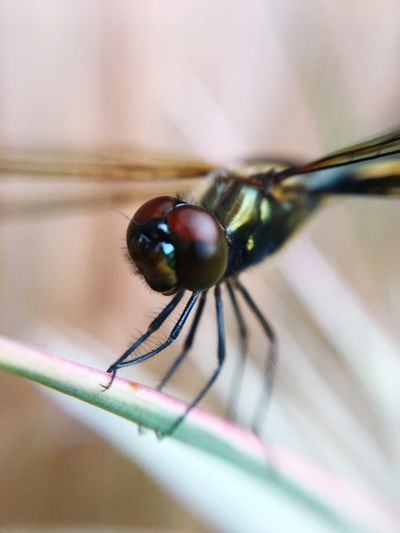 Dragonfly Dragonflies Close-up Extreme Close-up Insect Selective Focus Focus On Foreground Nature Animal Head  Animal Wing Beauty In Nature Animal Eyes Nature Photography Maximum Closeness Nature Insects  Insect Photography Insects Australia Collection Insects Australia Insect Paparazzi Insect Macro  Macro Photography Hatchling Wildlife Beauty In Nature