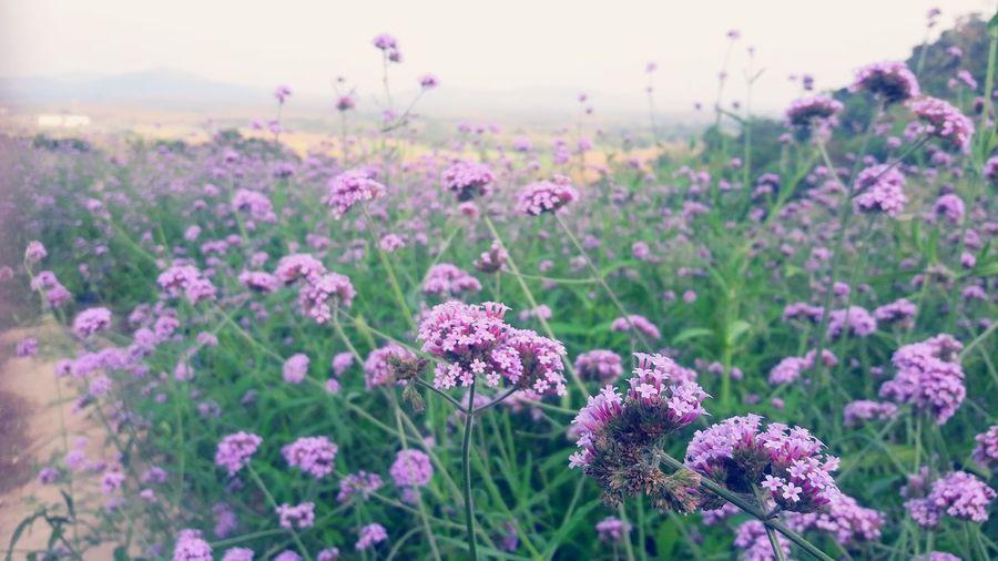 Flower Head Multi Colored Pink Color Rural Scene Purple Lavender Close-up Sky Landscape