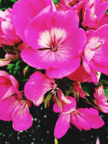Flower Fragility Petal Beauty In Nature Nature Freshness Flower Head Growth Pink Color Close-up Blooming No People Stamen Outdoors Plant Pollen Day Photography