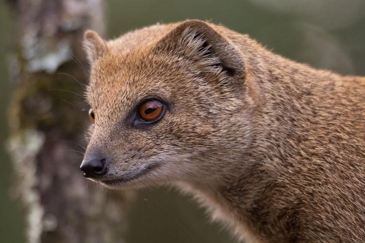 Mongoose Looking Away