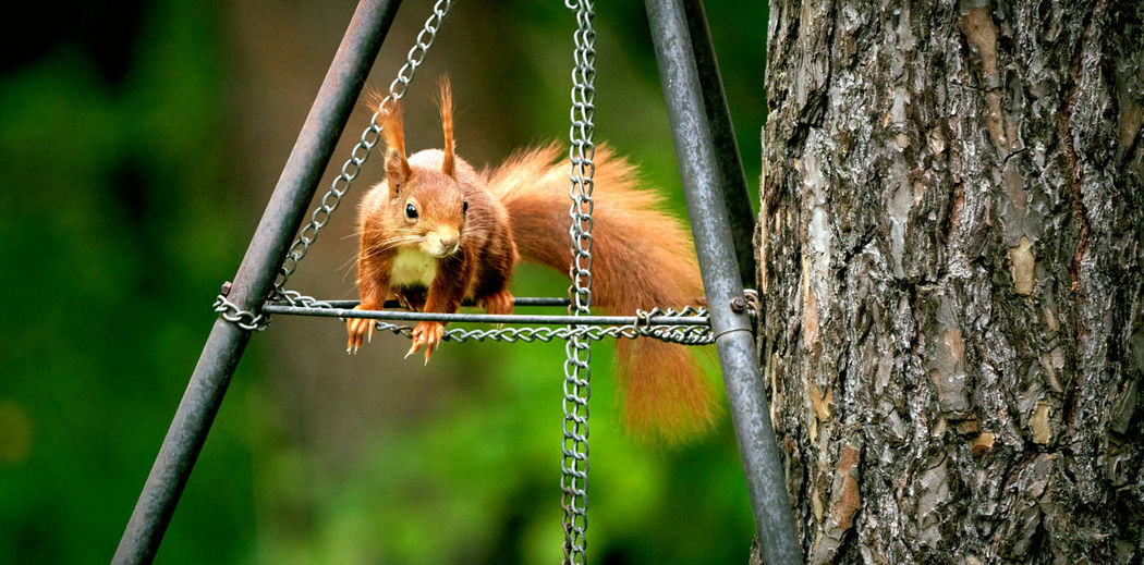 View of squirrel hanging on tree trunk
